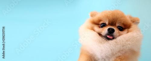 Pomeranian dog with blue backdrop. © Justinboat29