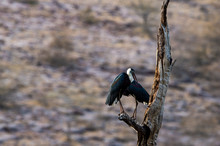 Asian Woolly Necked Stork Or A...