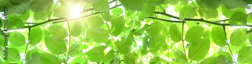 plakat Natural green banner background. Summer or spring backdrop with fresh green leaves and sun flares.