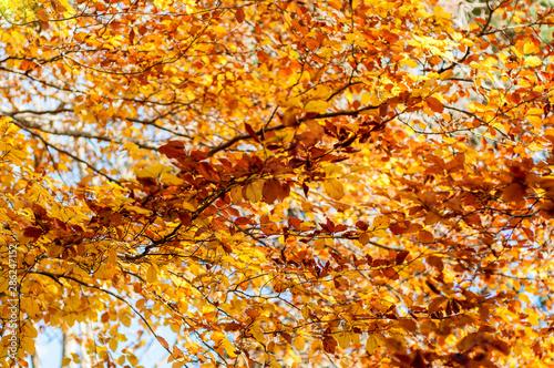 Spoed Fotobehang Berkbosje Yellow leaves on the tree. Golden leaves in autumn park. Autumn concept. Fall background