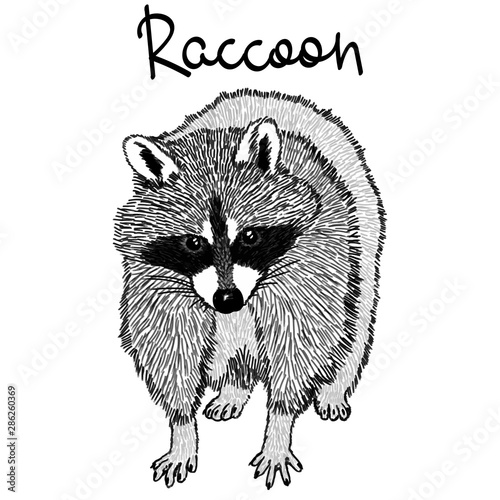 Photo sur Toile Croquis dessinés à la main des animaux Raccoon - realistic graphic vector illustration. Black and white portrait in style of engraving, isolated on a white background, design element for logo or template. Cute animal of North America.