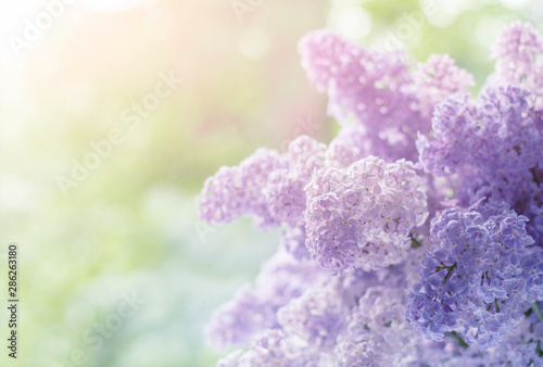 Cadres-photo bureau Jardin Pretty Purple Lilacs. Lilac flowers macro shot in early spring. Lilac flowers in vase against white background.
