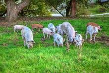 Herd Of Young Pigs Grazing Fresh Grass