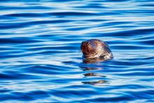 Grey Seal Bull Sleeping In The Ocean
