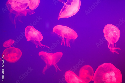 Pink jellyfish in blue transparent water close-up, sea background Tableau sur Toile