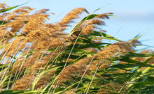 Green Reeds On The Beach In Summer
