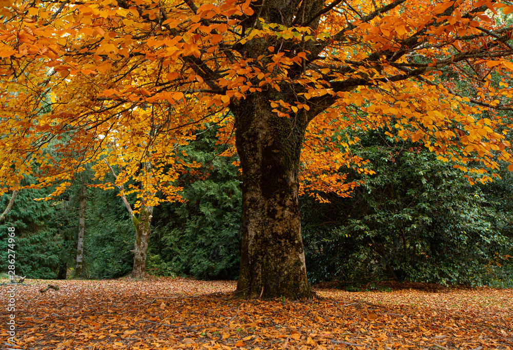Fototapety, obrazy: Grand tree dripping in gold leaf - Autumn is here