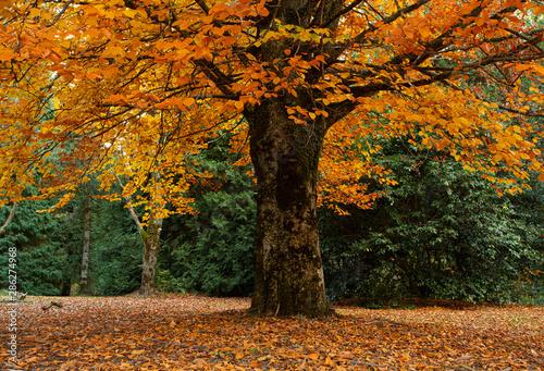 fototapeta na lodówkę Grand tree dripping in gold leaf - Autumn is here
