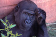 canvas print picture - gorilla