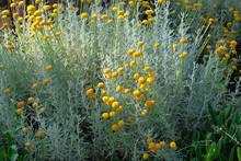 Helichrysum Flowers On Green N...