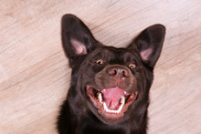 Portrait Of Eighteen Months Old Chocolate Labrador Retriever Being Silly On Wood Texture Floor. Happy And Funny Brown Dog Playing At Home. Close Up, Copy Space.