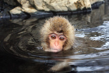 Hot Bath For Snow Monkeys In Jigokudani Monkey Park In Nagano Japan