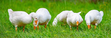 White Geese In The Garden Close Up