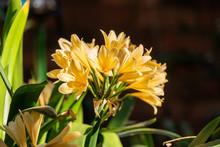 Bush Lily (Clivia Miniata) In Yellow