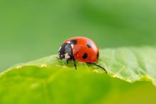 Ladybug Runs On A Green Leaf