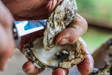 Selective Focus Closeup Of A Man's Large Strong Hands Using An Oyster Knife To Demonstrate How To Shuck A Rappahannock River Oyster