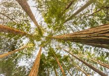 Looking Up At Yellowwood Trees