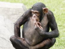 Adult Chimpanzee Sitting On Gr...