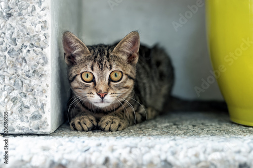 Cute adorable funny small tabby kitten sitting in dark corner while hunting or stalking outdoors Obraz na płótnie