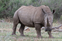 White Rhino In The Wild With Impressive Horn