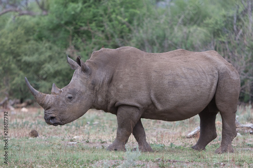White rhino with horn in profile Fototapeta