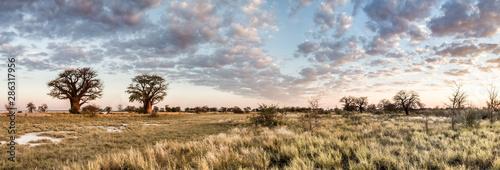 Montage in der Fensternische Baobab Botswana baobab panorama