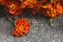 Wet Marigold Flowers Lying On ...