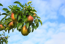 Branch With Pears Isolated On ...