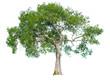 Leinwanddruck Bild - isolated tree on white background