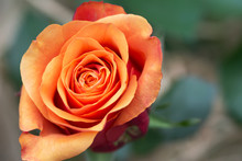 Close Up Of Beautiful Single Orange Rose On Green-beige Background