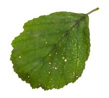 Diseased Green Leaf Of Alder T...