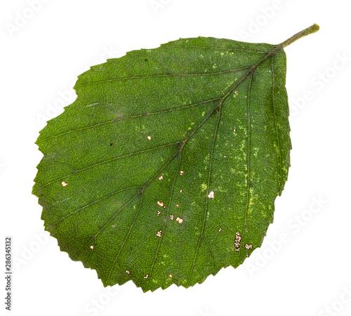 Photo diseased green leaf of alder tree isolated