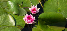 Delicate Pink Water Lily And Green Lily Pads