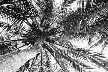 Fototapeta Drzewa beautiful palm tree - monochrome