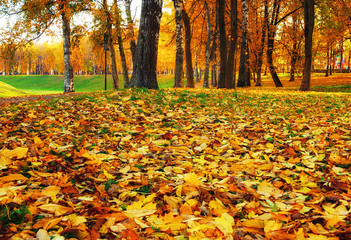Fall landscape view of autumn park at sunset. Row of fall trees with fallen dry leaves, focus at the fall leaves