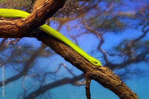 The western green mamba (Dendroaspis viridis), also known as the West African green mamba or Hallowell's green mamba on the branch Wallpaper Mural
