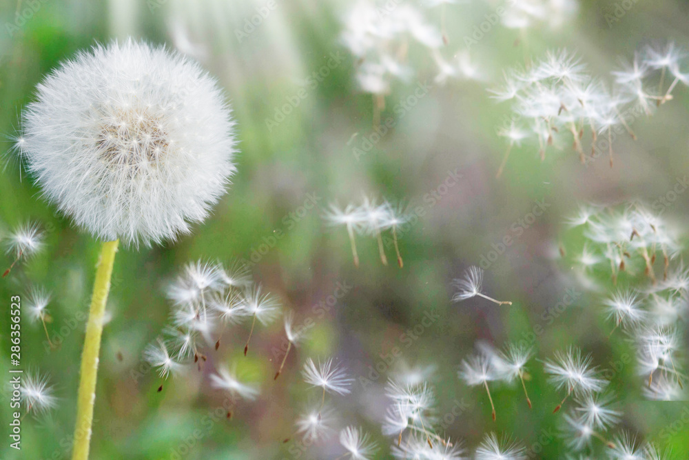 Fototapety, obrazy: Dandelion seeds in the sunlight blowing away across a fresh nature green morning background