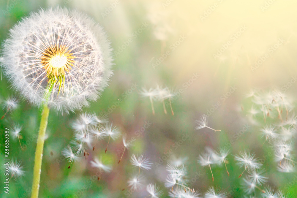Fototapety, obrazy: Fluffy dandelions glow in the rays of sunlight at sunset in nature on a meadow. Beautiful dandelion flowers in spring in a field close-up in the golden rays of the sun.