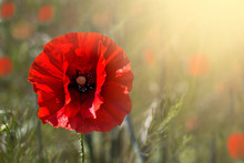 Poppy Flower Or Papaver Rhoeas Poppy With The Light. Summer Time Background. Copy Space