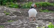 Three Puffins Near Their Nest In The Soil. Two Puffins Are Flying Away Leaving Their Mate Alone. In The Background A Seagull Is Looking For Something To Profit At Puffin's Nest.