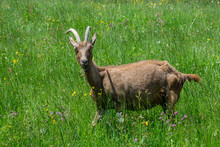 Single Goat In The Green Grass