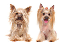 Collage Of The Same Yorkshire Terrier Dog Before And After Grooming