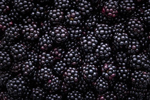 Close Up Of Shiny, Freshly Picked Blackberries