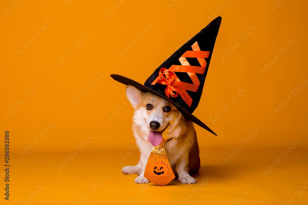 Fototapety, obrazy: Corgi dog in Halloween costume on yellow background