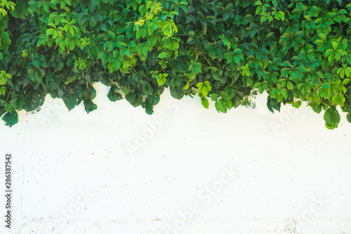 Photo Virginia creeper (Parthenocissus quinquefolia) plant on the white wall