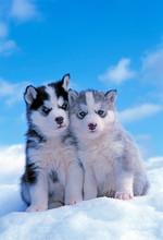 Two Cute Siberian Husky Puppie...