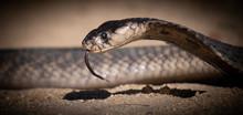Black Mamba Snake Head