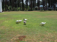 White House Geese Eat Grass On The Football Field