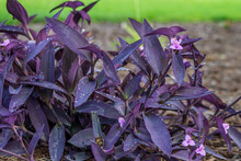 Purple Heart Plant With Pink Flowers