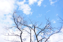 Dry Tree With Blue Sky And White Cloudy In Sunny Day,autumn Season,nature Background
